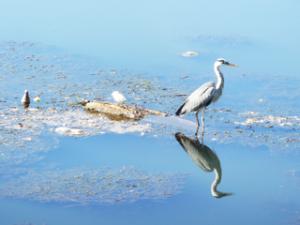 Fischreiher am Rio Bernesga