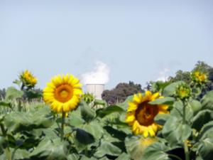Sonnenblumen mit Atommeiler